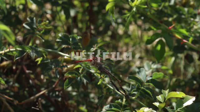 Dragonfly sitting on the branch of a Bush. Berry bushes, foliage, wind, Sunny weather. Dragonfly,...