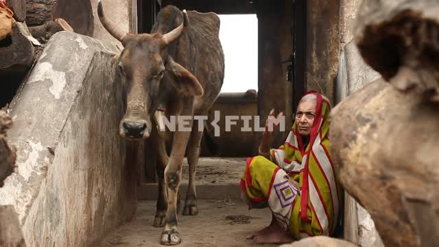 Indian cow wandering along the stone corridor, the wall squat Indian women Indian cow, Indian...