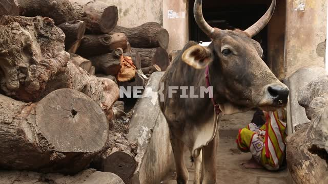 Indian cow near stacked firewood in the background of the Indian sitting wall squat Indian cow,...