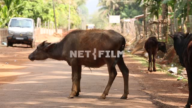 Indian cow is waving his ears, standing on the road passing by the car cow, road, vehicles,...