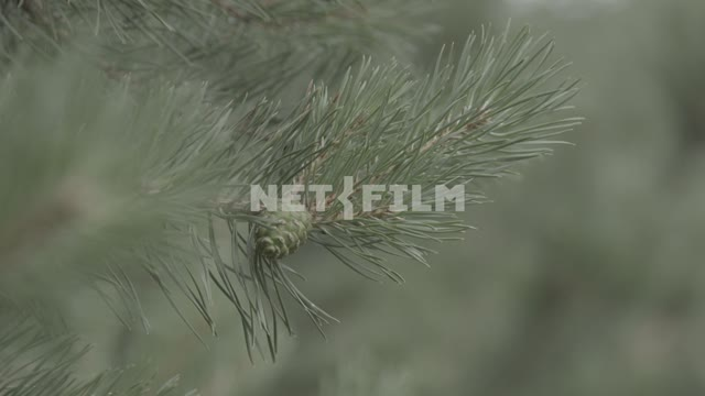 Pine branches swaying in the wind. Branch, pine, needle, needles, close-up, lump, green lump...