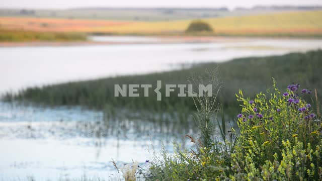 Wildflowers on a background of the river and fields Wildflowers, plants, river, shore, field,...