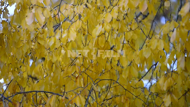 The leaves of the tree. Autumn yellow leaves, branch, tree, close-up, autumn, day, nature, light