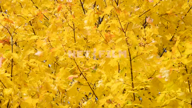 The leaves of the trees. Autumn Trees, forest, leaves, nature, yellow leaves, autumn, day, light