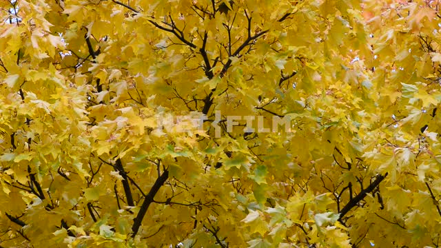 The leaves of the trees in the wind. Autumn Trees, forest, leaves, nature, yellow leaves, autumn,...