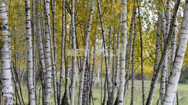 Birch grove Trees, birch, nature, autumn, day, light, forest