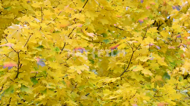 Maple leaves. Autumn Maple, tree, leaves, branch, autumn, nature, day, light