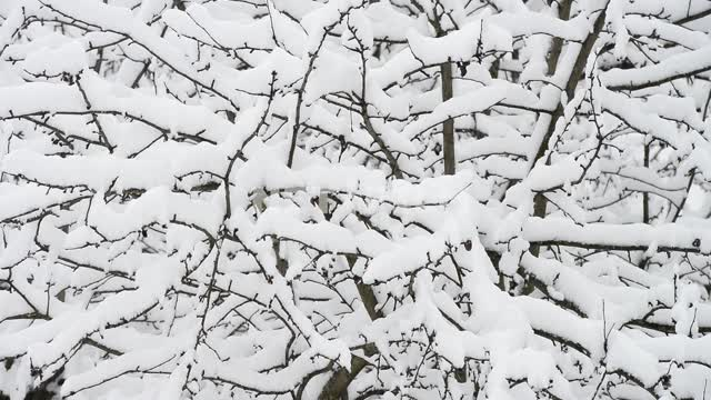 Snow-covered forest Winter, forest, snow, branches