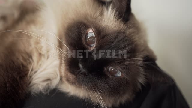 Siamese Cat Cat, pet