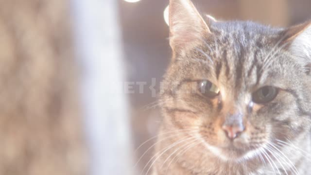 A gray tabby cat looks at the camera and turns away Cat, cats, pets