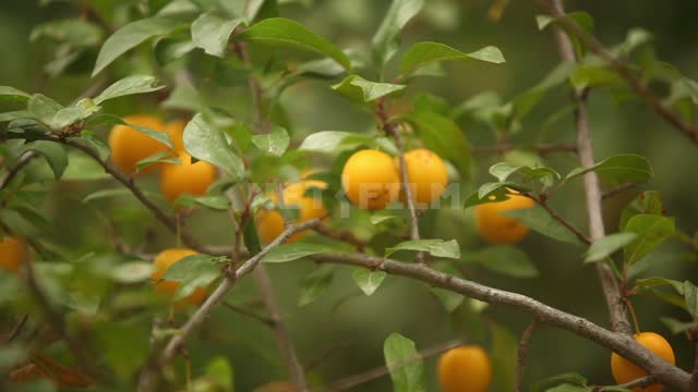 Apricots on the branches, change of focus Apricots, fruits, fruits, gardens, trees, branches,...