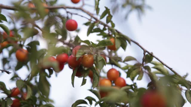 Wild cherry plum on the branches, changing the distance Cherry plum, fruit, fruit, trees, branches,...