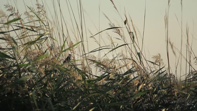 Birds in a thicket of grass on the shore, a light breeze Birds, grasses, reeds, sedge, shore, pond,...