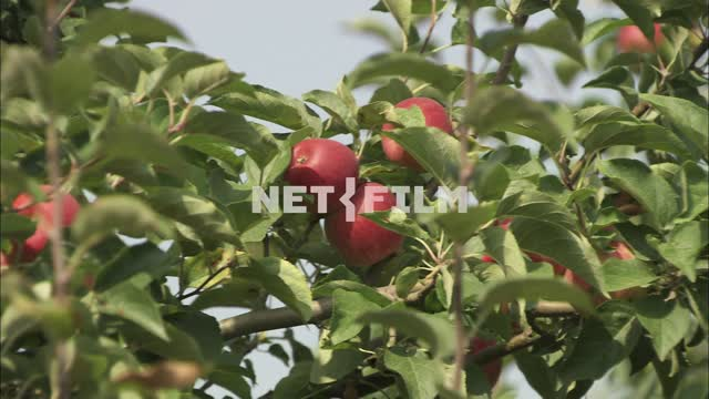 Apple orchard. Nature. Summer. Fruits. Clear day. Apples on a branch.