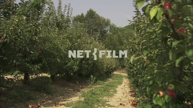 Apple orchard. Nature. Summer. Fruits. Trees. Apples lie under the trees. Apples on the...
