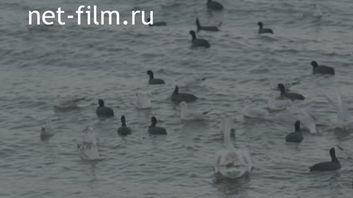 Birds floating on the waves. Swans Seagulls Duck