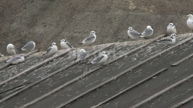 Seagulls sitting on the roof of the wooden structure. Russian North, home, roof, shed, seagulls.