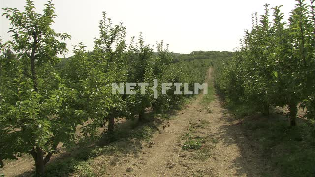 A field of fruit trees. Garden, trees, fruits, planting, rows, field, garden, summer, Sunny,...